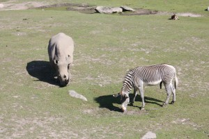 A rhinoceros and a zebra at Kolmården Zoo.