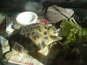 Marcus and CC's turtle Berta which now unfortunately is dead is eating breakfast.